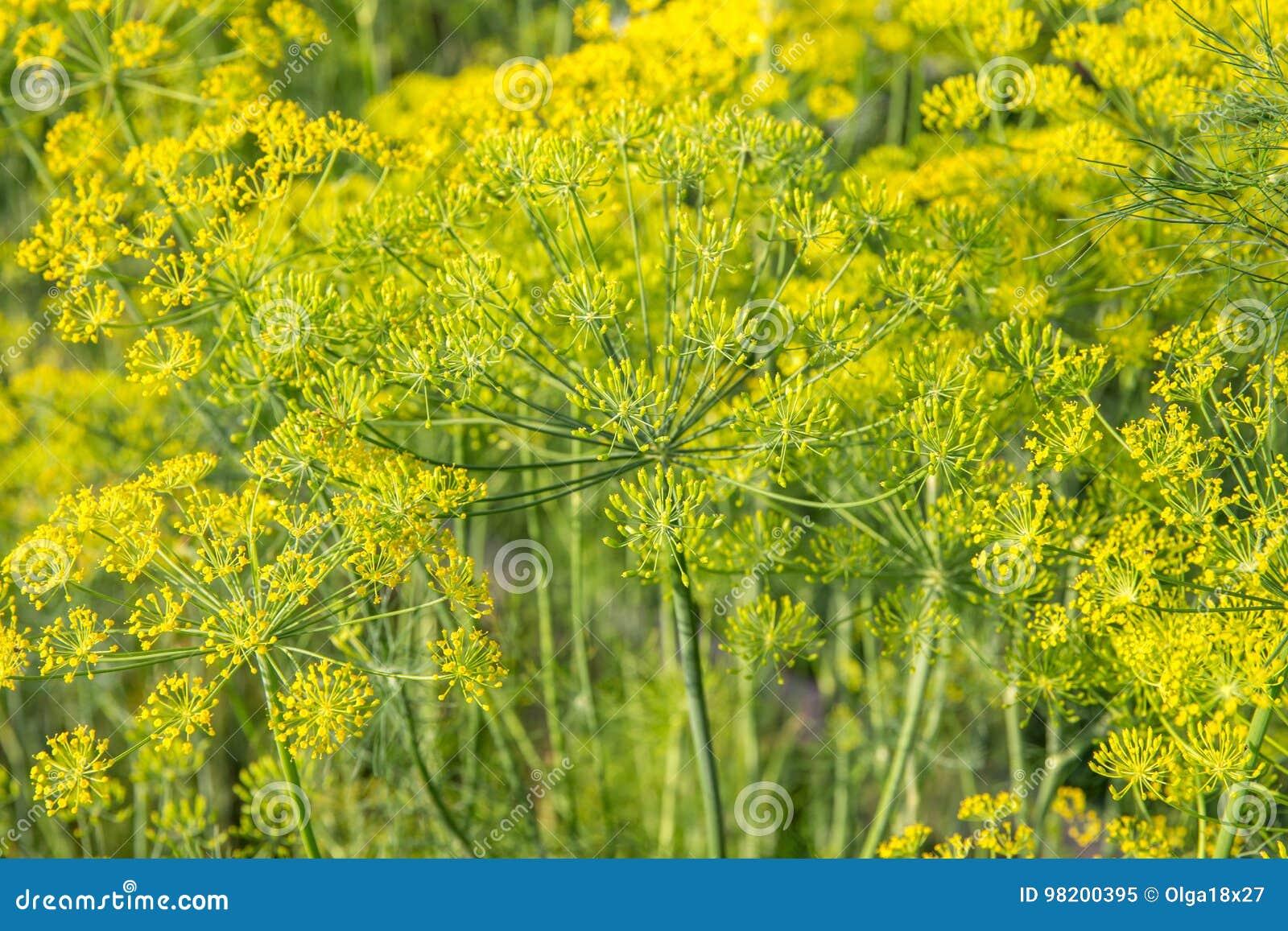 Download Завод и цветок укропа как аграрная предпосылка Стоковое Изображение - изображение насчитывающей condiment, backhander: 98200395