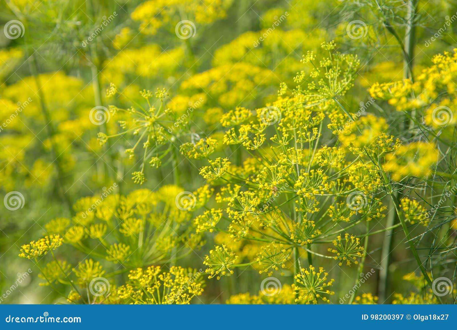 Download Завод и цветок укропа как аграрная предпосылка Стоковое Изображение - изображение насчитывающей здорово, травы: 98200397