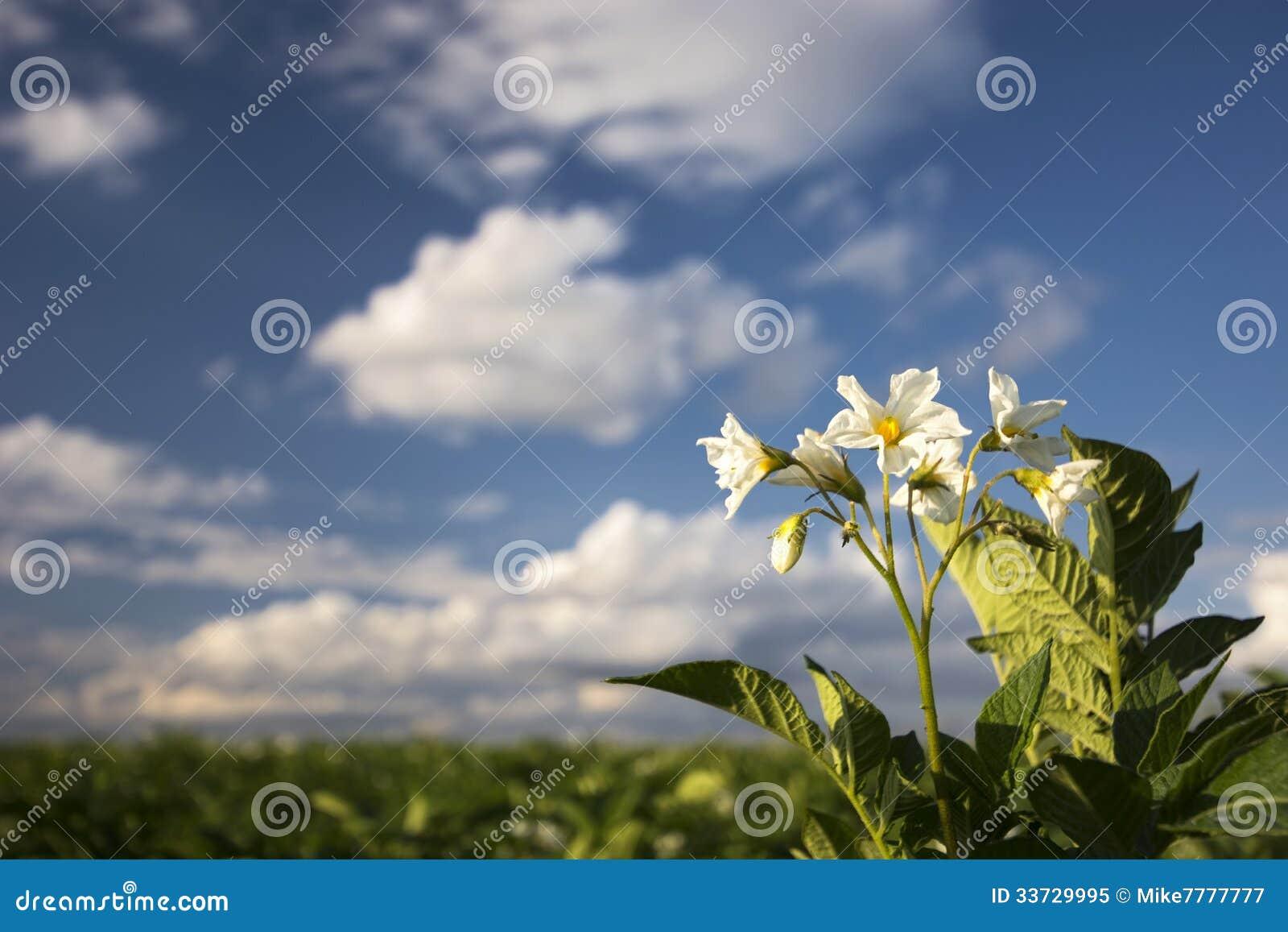 Завод картошки цветет на солнечный день, Midwest, США