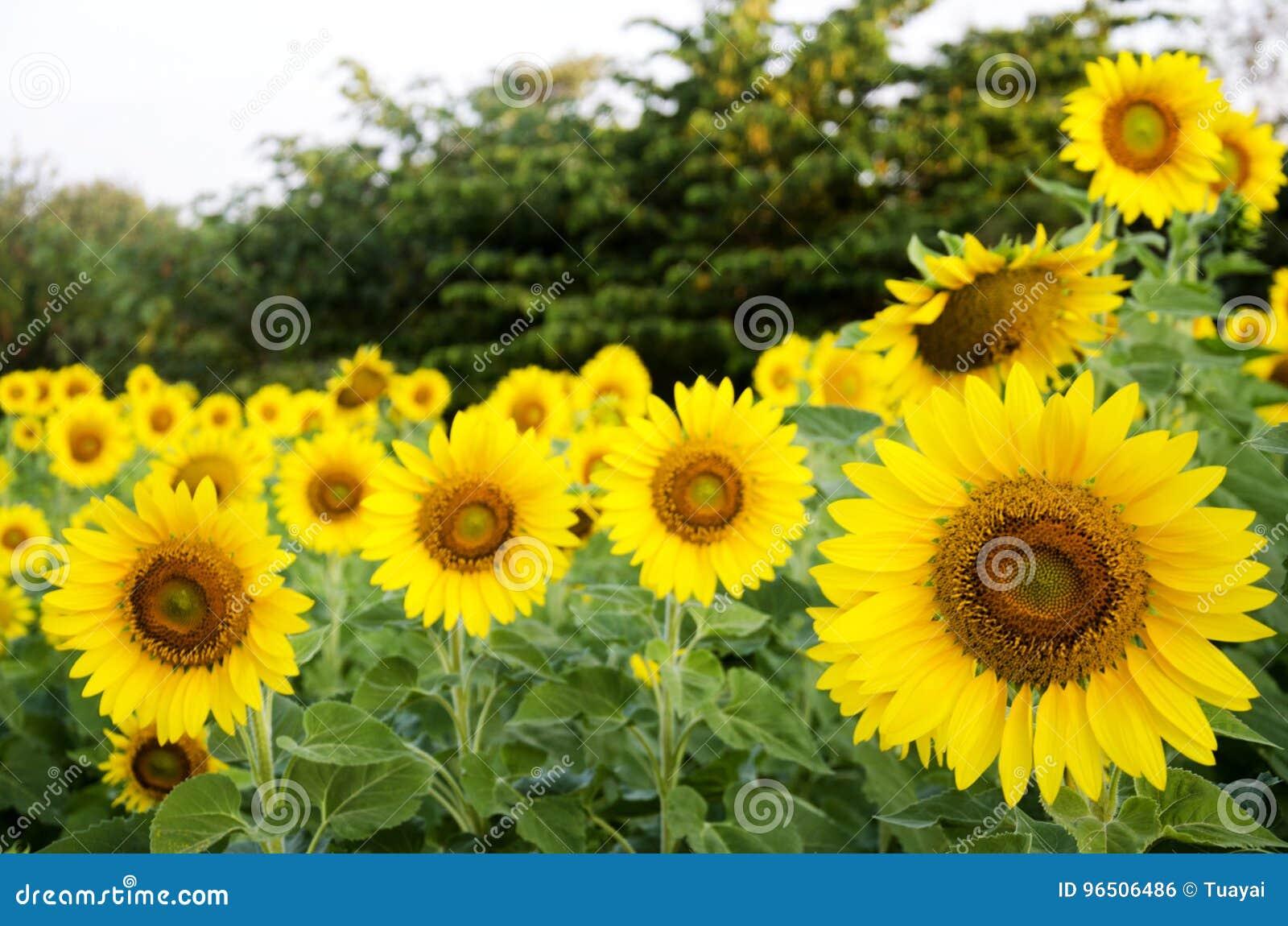 Завод солнцецвета на поле