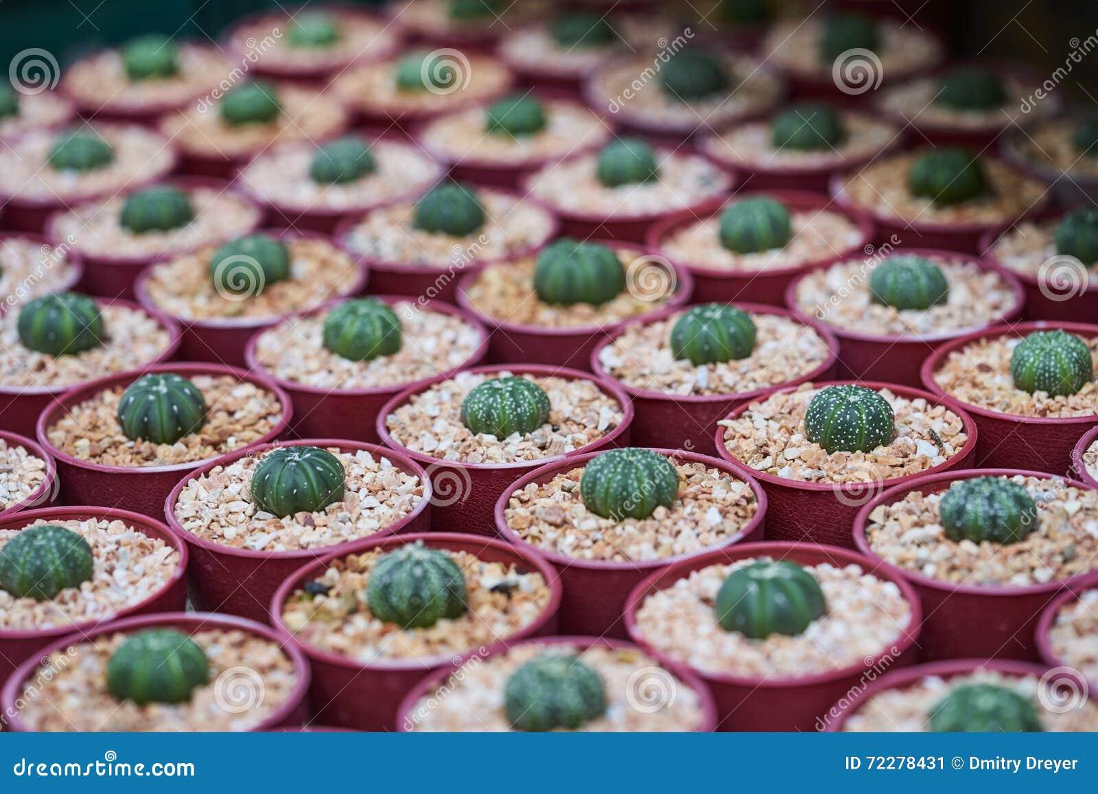Download Заводы кактуса растя в стручках Стоковое Изображение - изображение насчитывающей перец, здорово: 72278431
