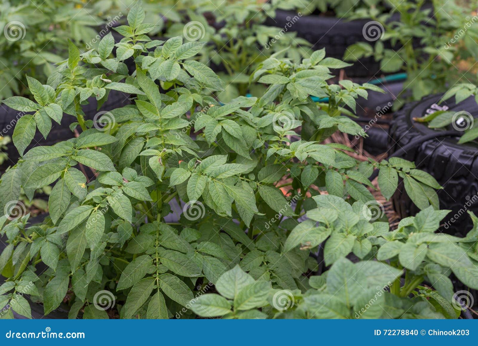 Download Заводы картошки стоковое фото. изображение насчитывающей environment - 72278840