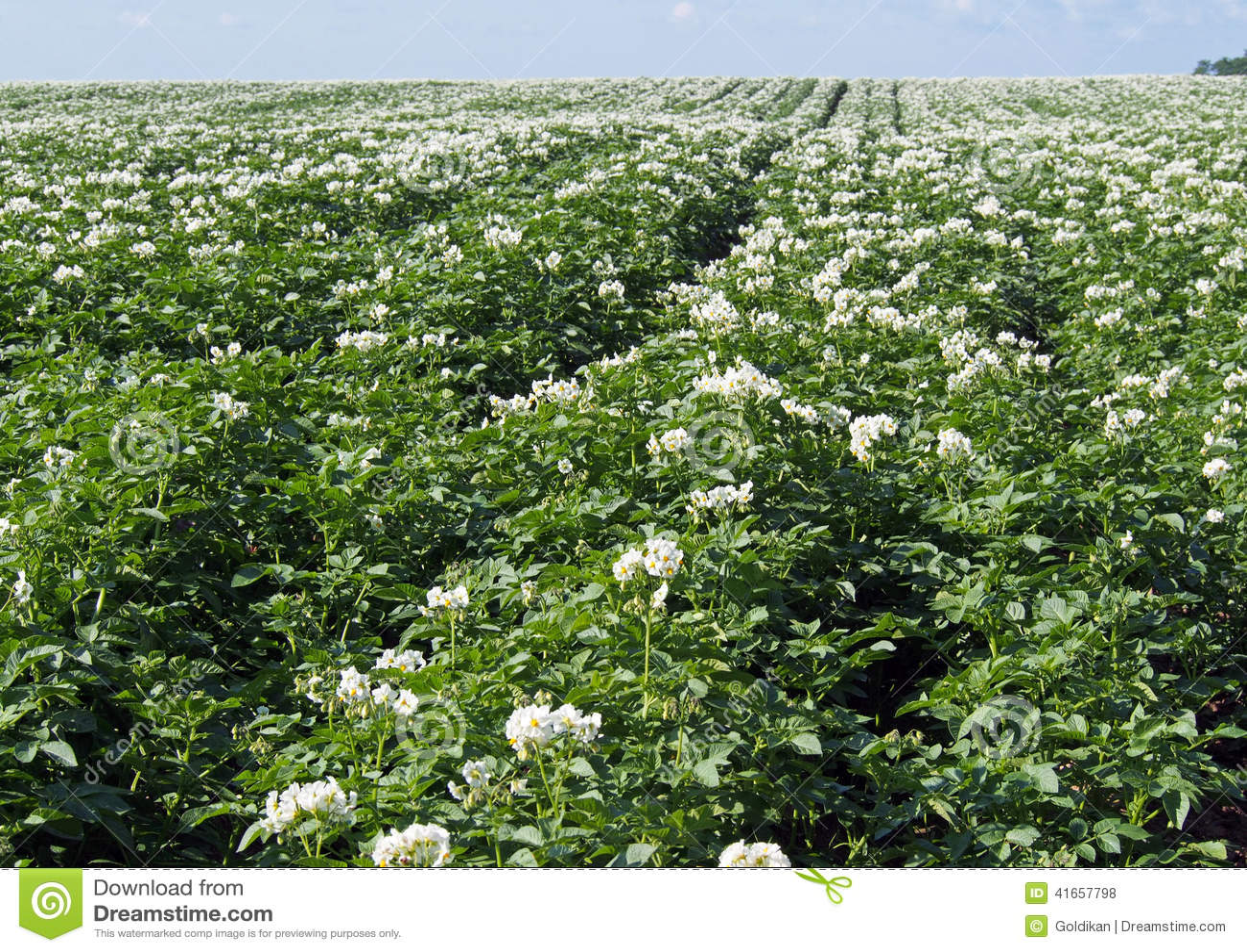 Заводы Flowerings картошки