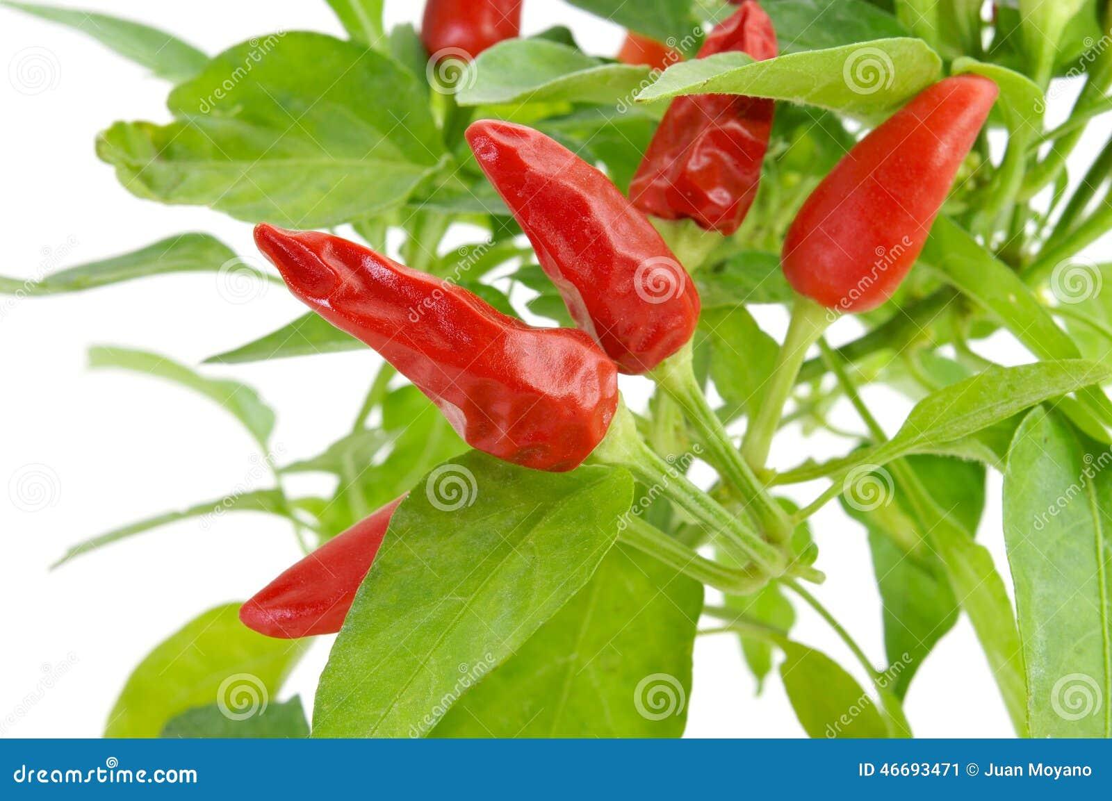 Завод Capsicum annuum с малыми красными перцами