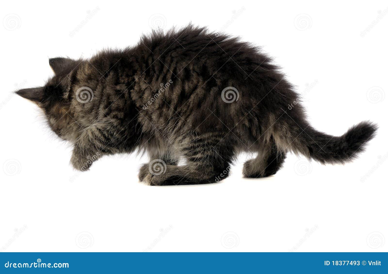 задний взгляд котенка