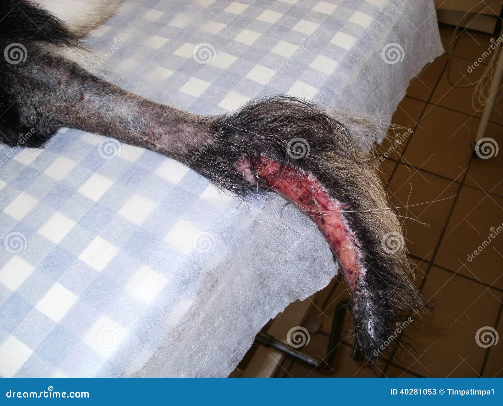 Заживление рана на кабеле собакой чабана