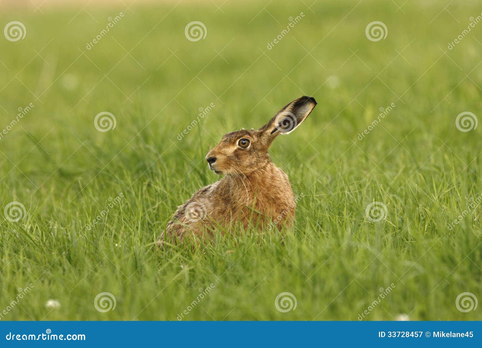 Зайцы Брайна, europaeus Lepus