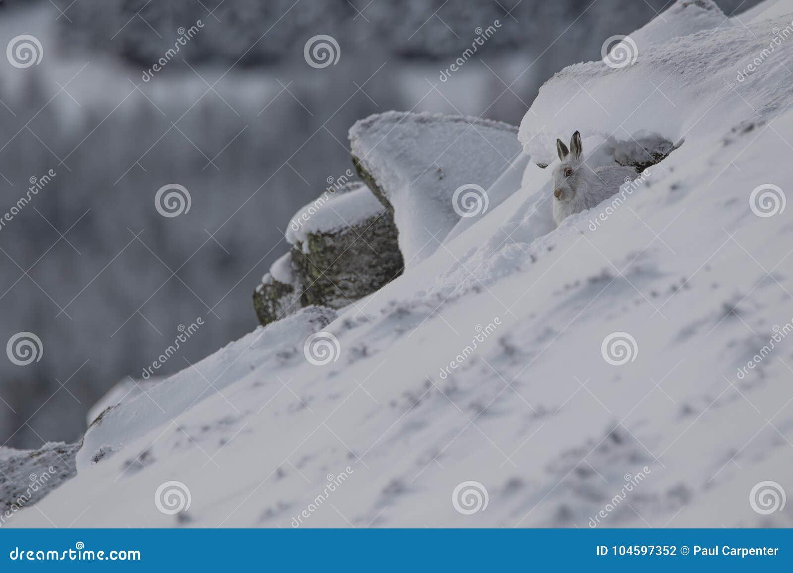 Зайцы горы, timidus Lepus, конец вверх по портрету пока сидеть, кладя на снег во время зимы в пальто зимы/лета во время autumn/wi