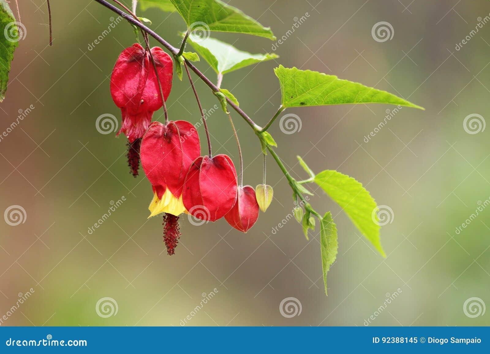 Закройте вверх в португальских цветках садов Изумительные красочная желтая и красный