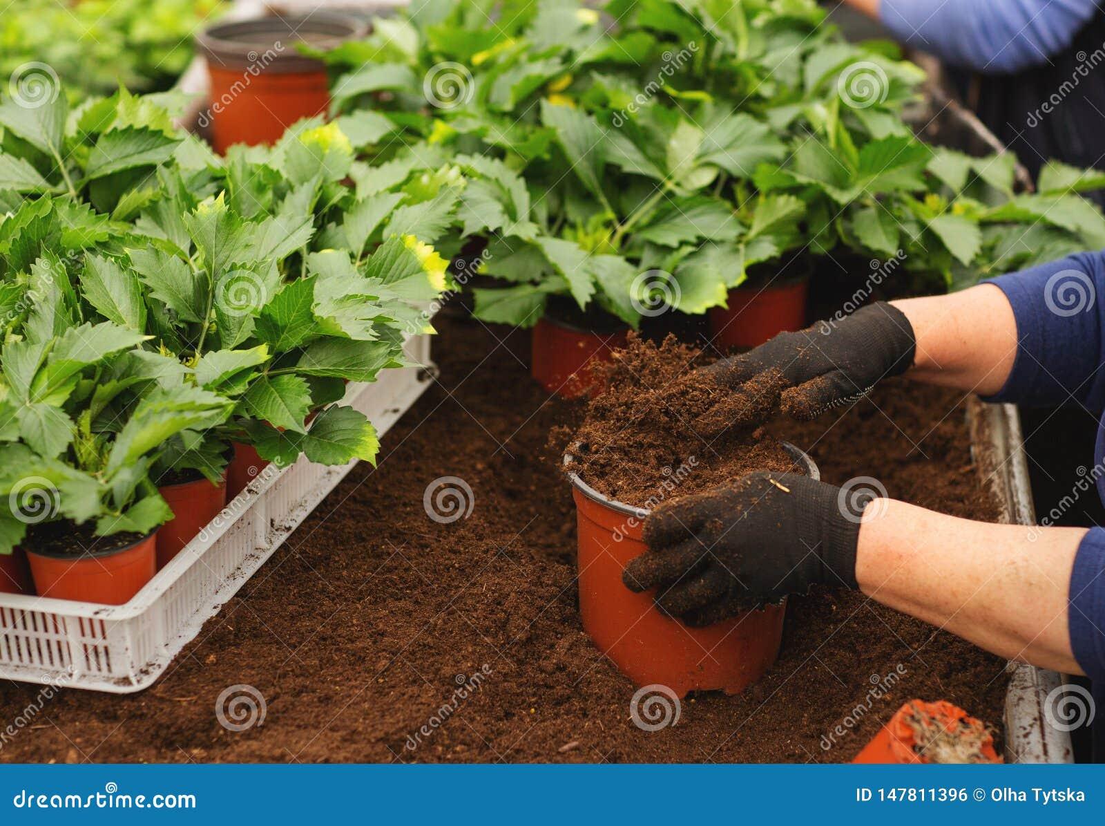 Закройте вверх женских рук с перчатками держа цветочный горшок с саженцем в парнике