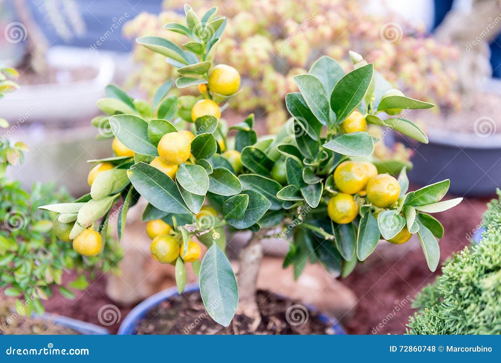 Закройте вверх малого дерева tangerine, отмелого dept поля