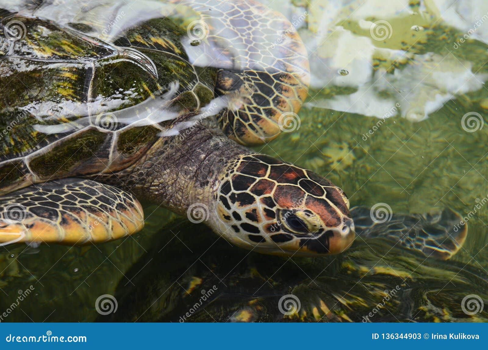Закройте вверх морской черепахи в воде Голова черепахи со сморщенной шеей Взгляд сверху