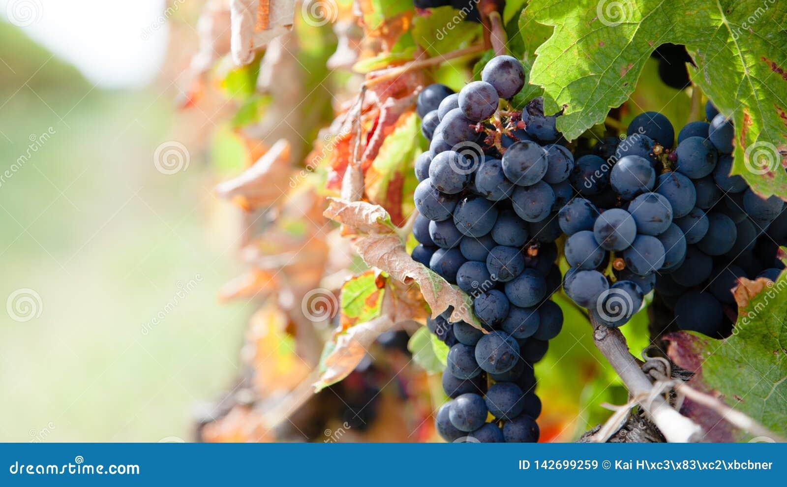 Закройте вверх на красных виноградинах в винограднике в краткости поздним летом перед сбором