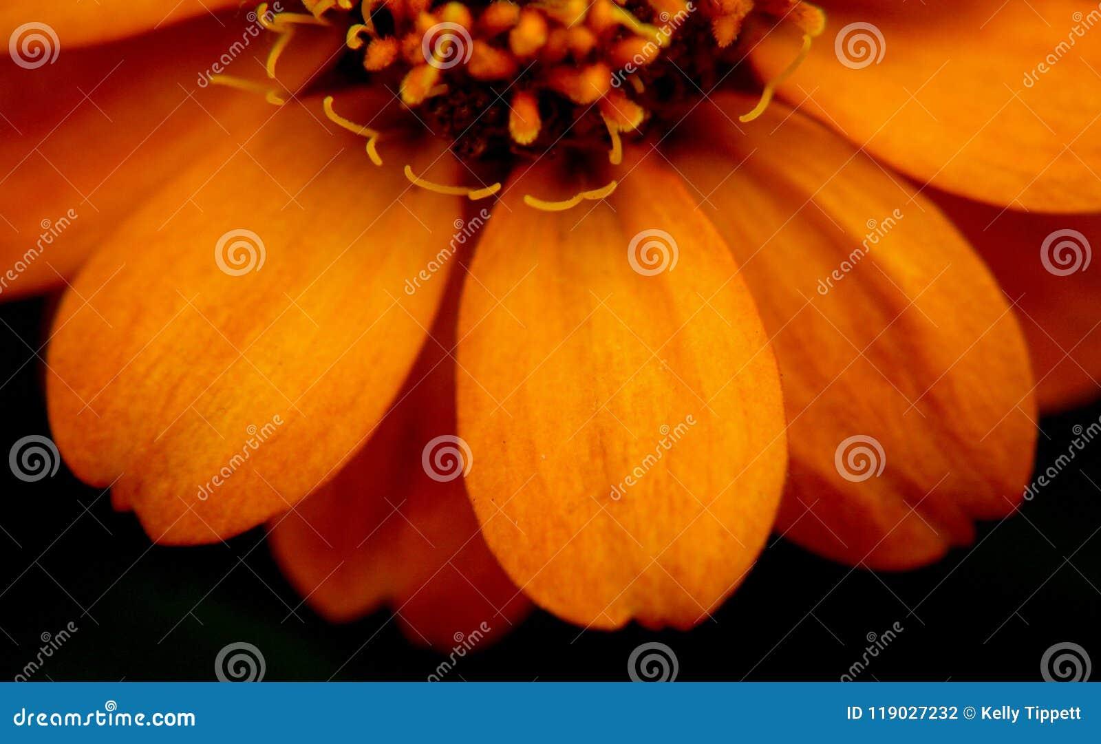 Закройте вверх на цветке Zinnia в Миссиссипи июне