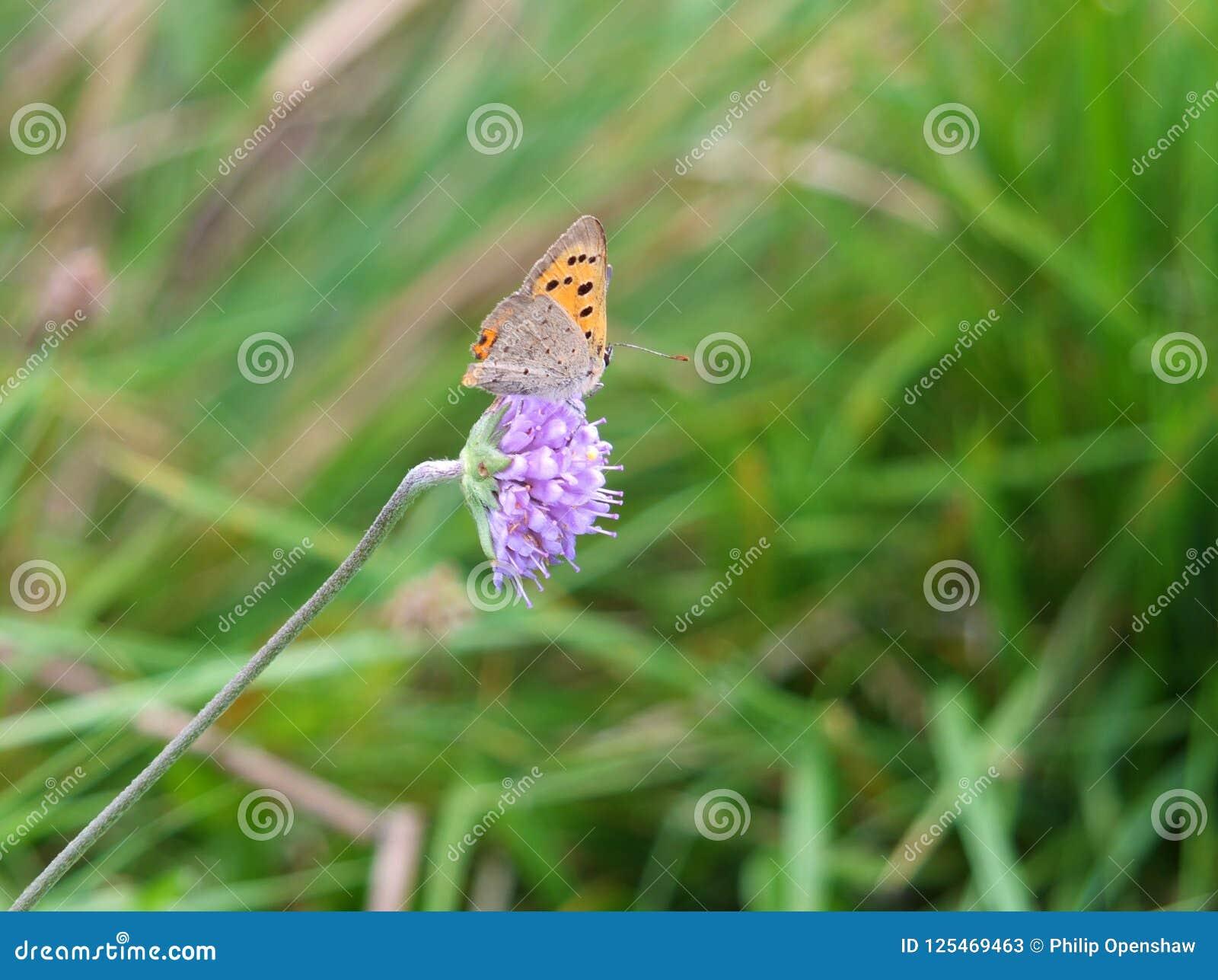 Закройте вверх небольшой медной бабочки отдыхая на небольшом пурпурном цветке против запачканной предпосылки зеленого цвета луга