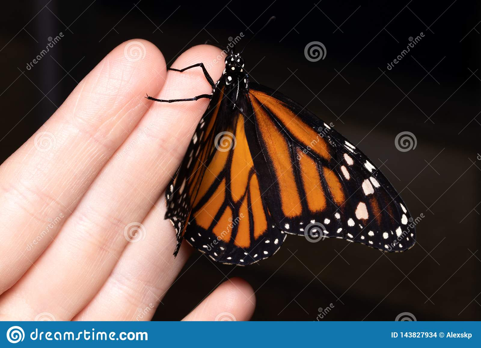 Закройте вверх по бабочке на руке женщины Красотка природы