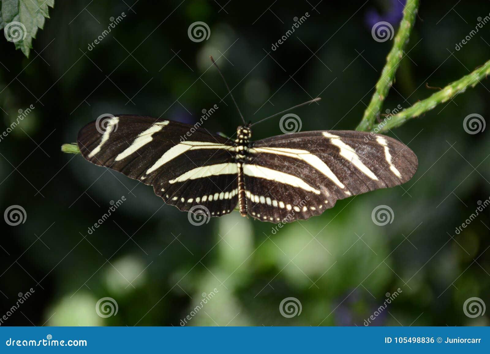 Закройте вверх по бабочке Longwing зебры съемки