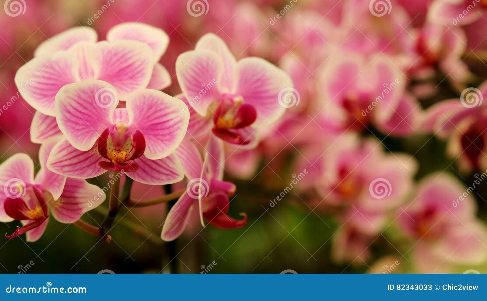 Закройте вверх по зацветая красивой мини розовой орхидее ` фаленопсиса ` в красочном цветочном саде