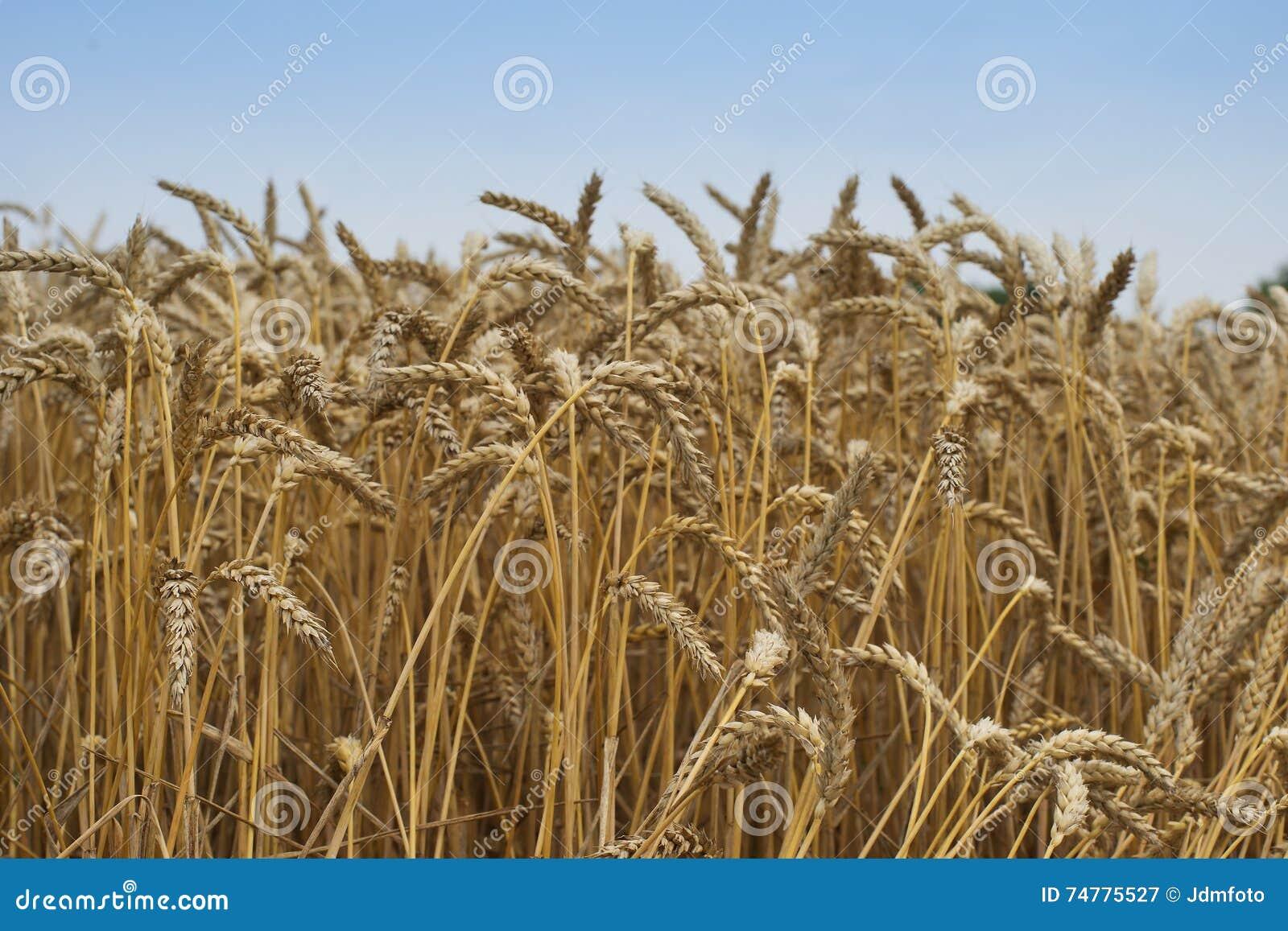 Закройте вверх по изображению на riped хранят пшенице, который Высушенные желтые зерна и соломы в летнем дне ждать жатку зерноком