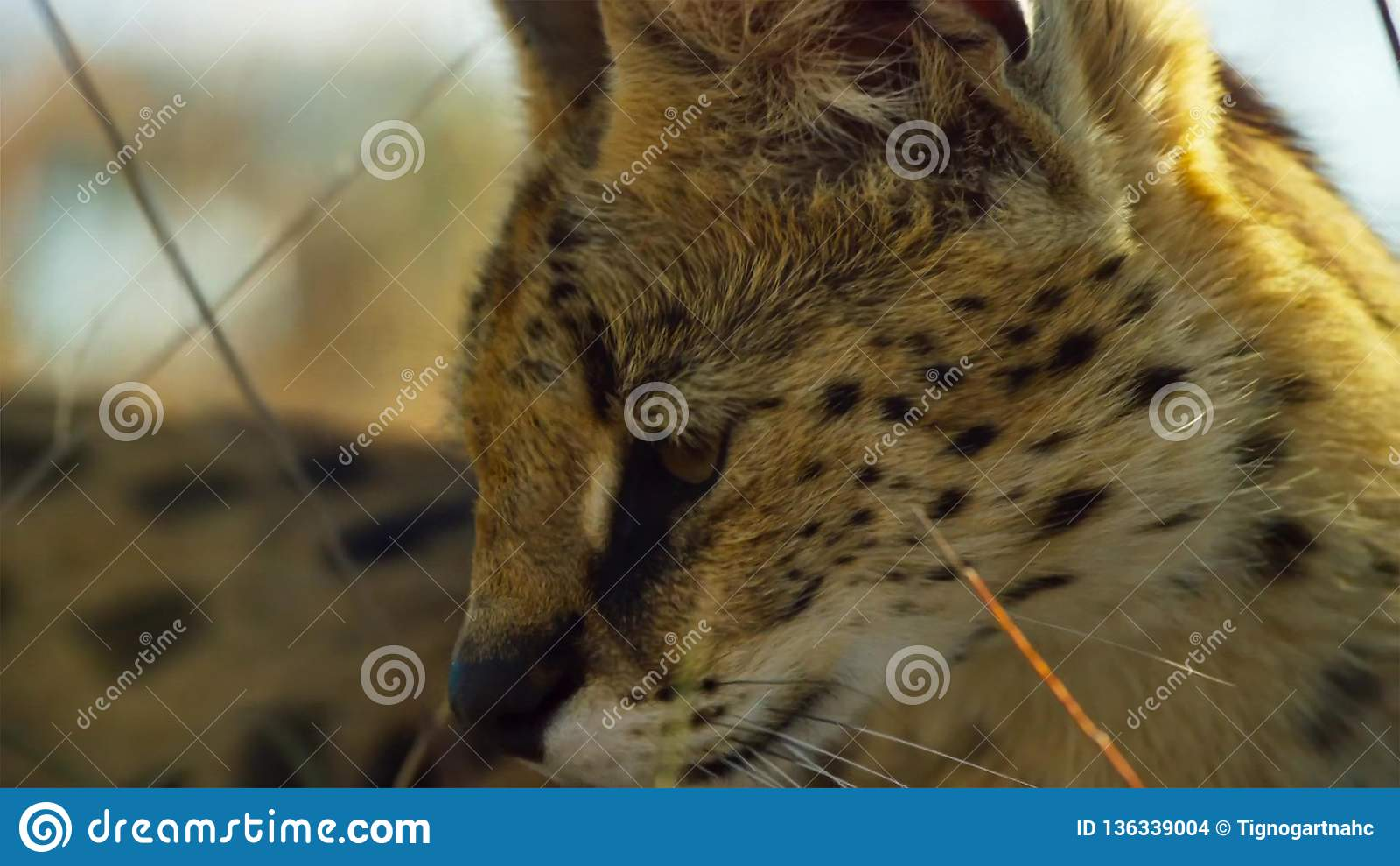 Закройте вверх по коту сервала с запятнанный как гепард и дополнительные длинные ноги, саванна, Африка
