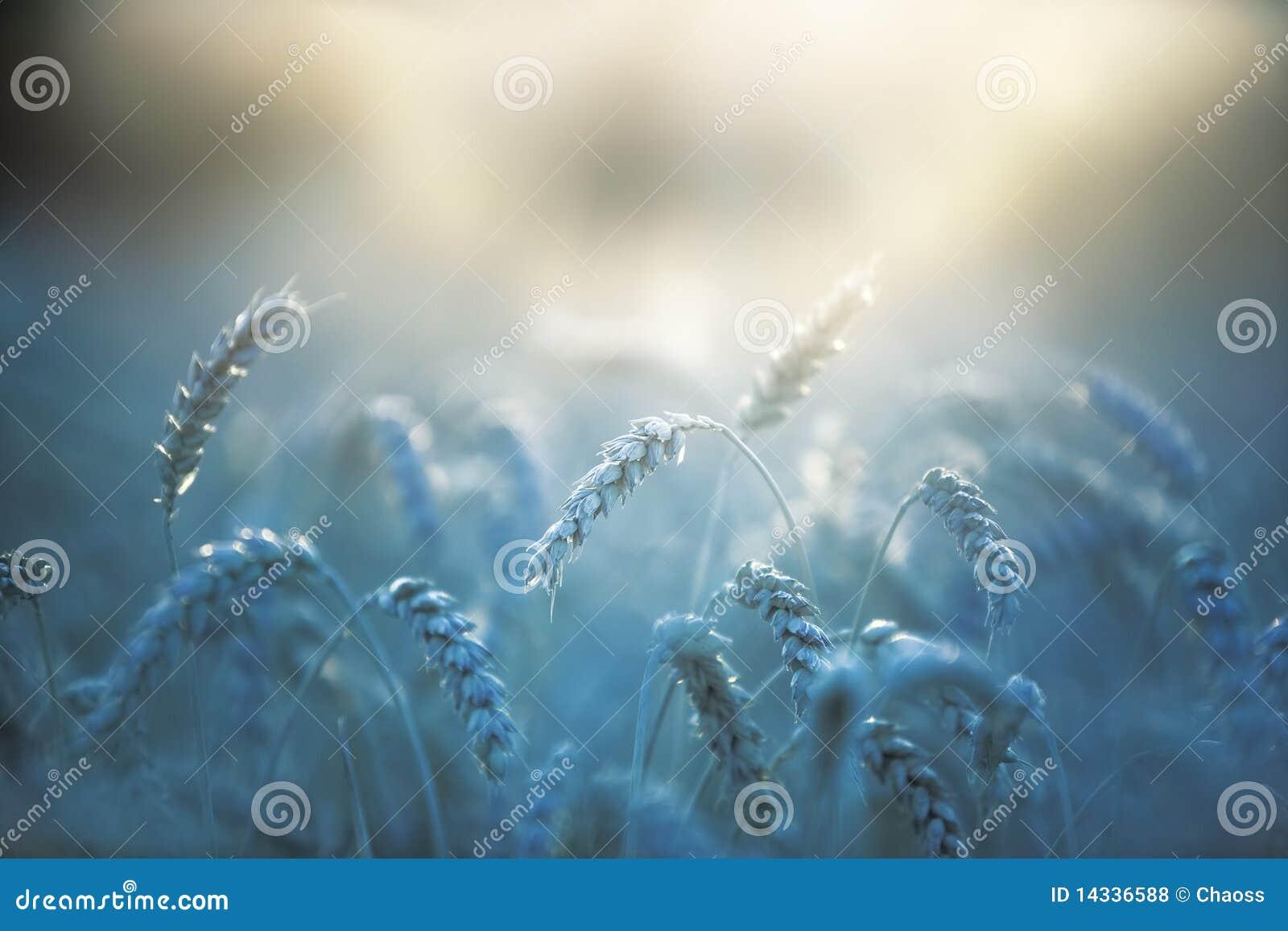 закройте вверх по пшенице
