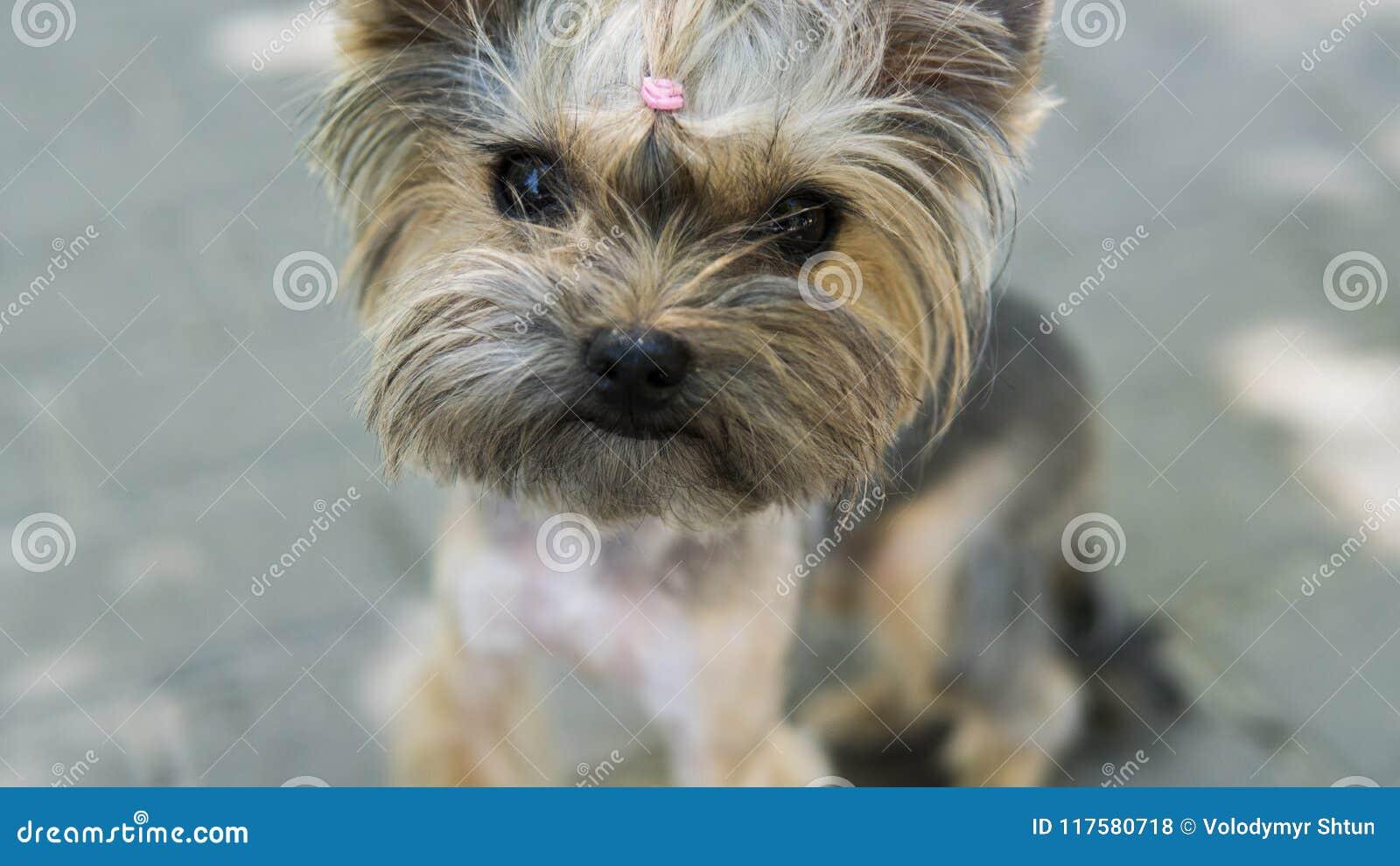 Закройте вверх по смешному йоркширскому терьеру щенка в дальше тротуаре в парке смотря в камере