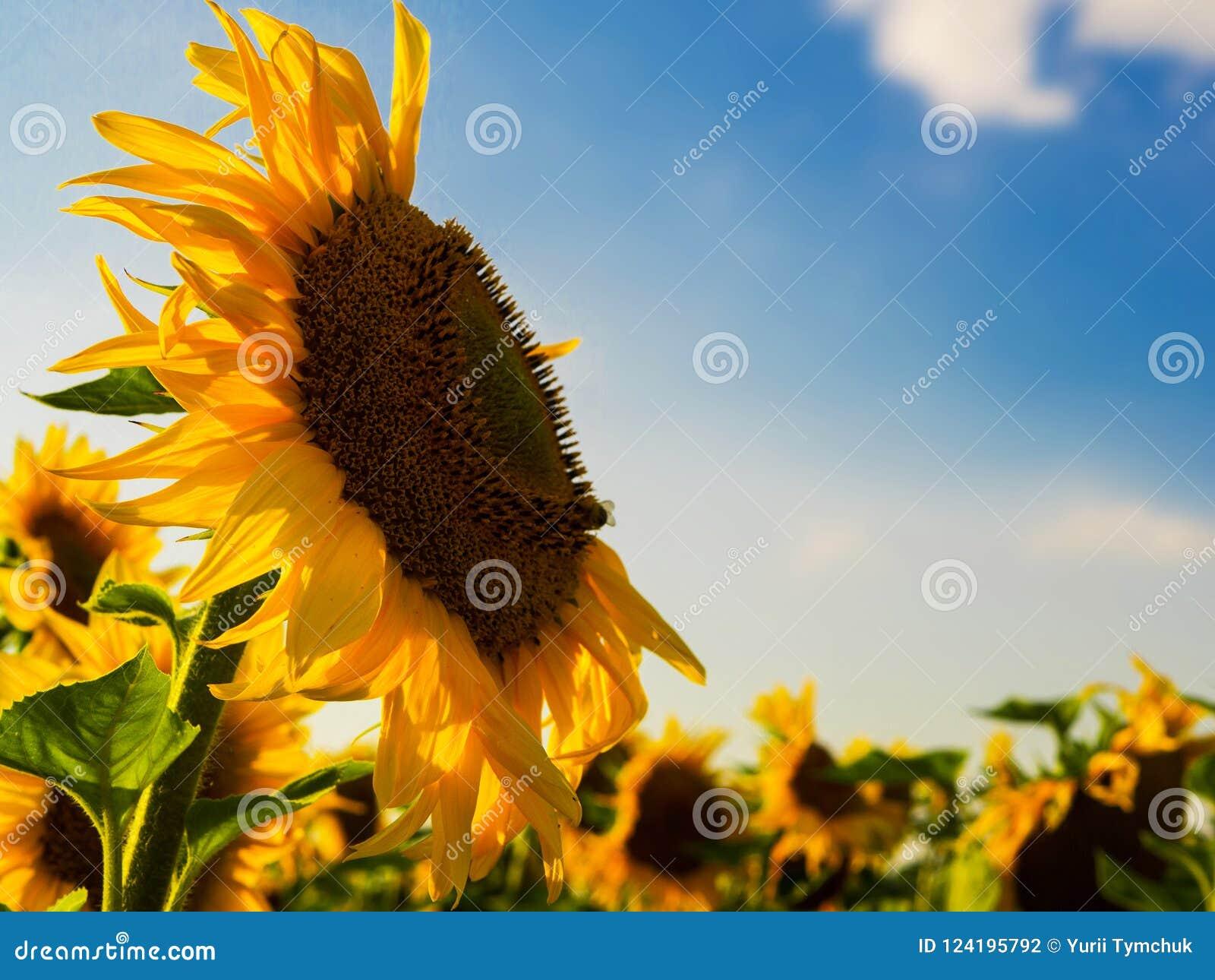 Закройте вверх по съемке солнцецвета на заходе солнца под голубым небом, copys