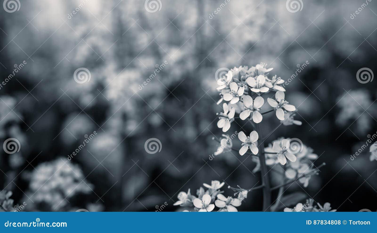 Закройте вверх по цветку мустарда с черно-белым цветом