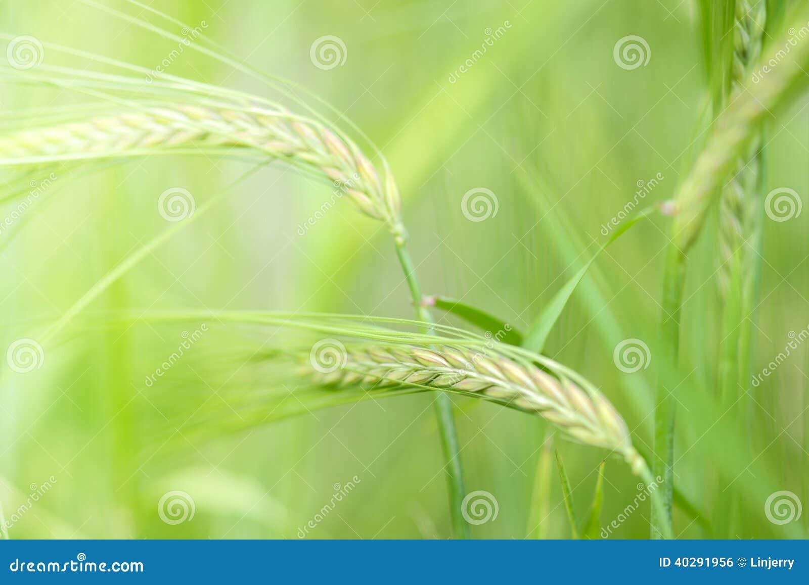 Закройте вверх пшеницы