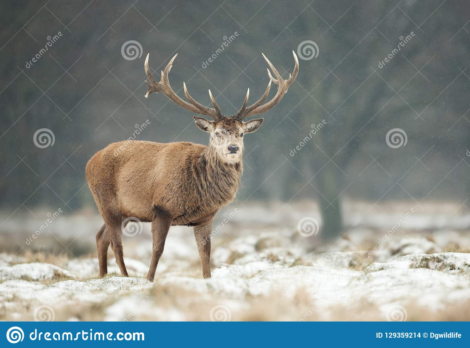 Закройте вверх рогача красных оленей в зиме
