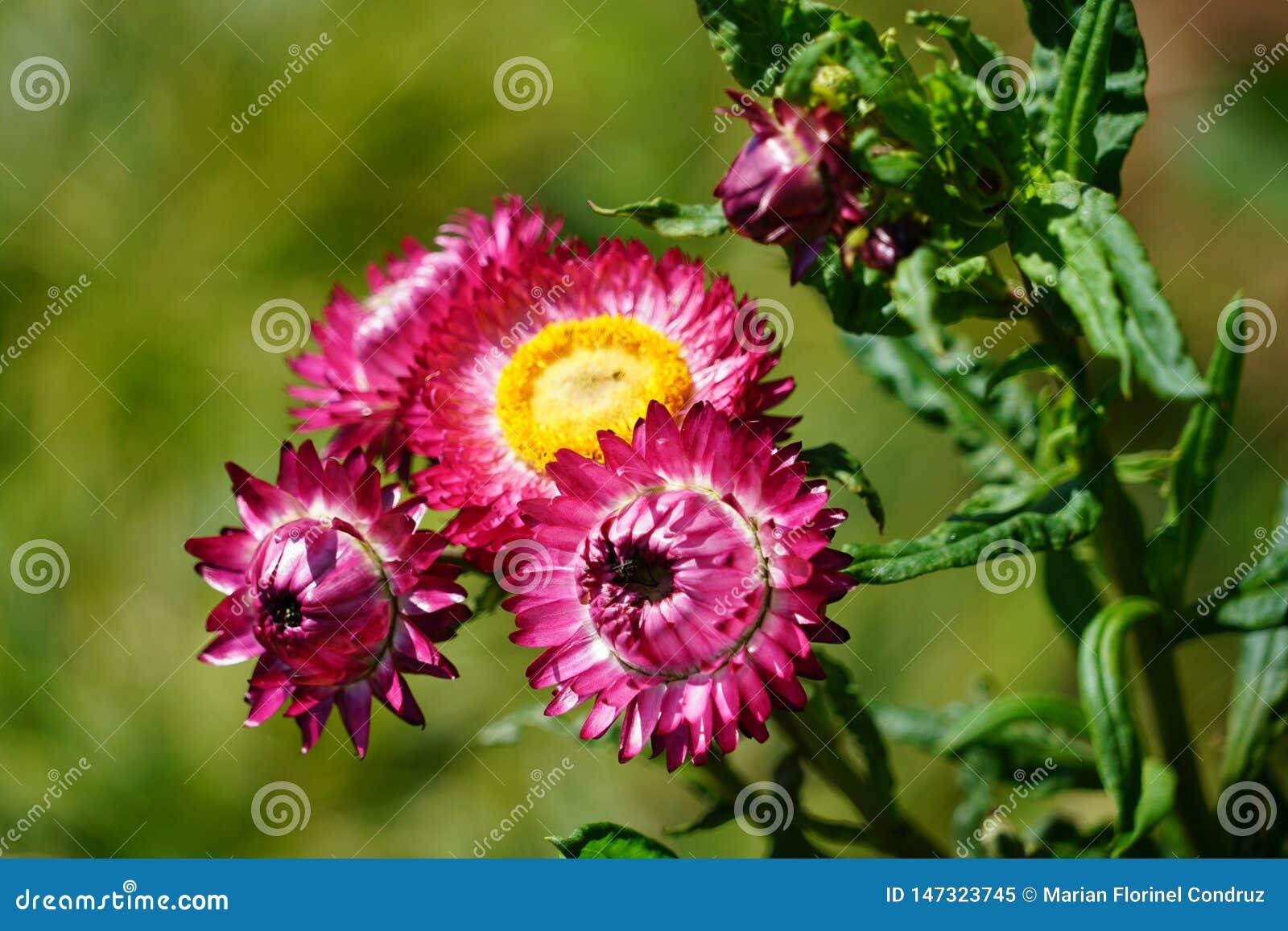 Закройте вверх с цветками Мадейры специфическими