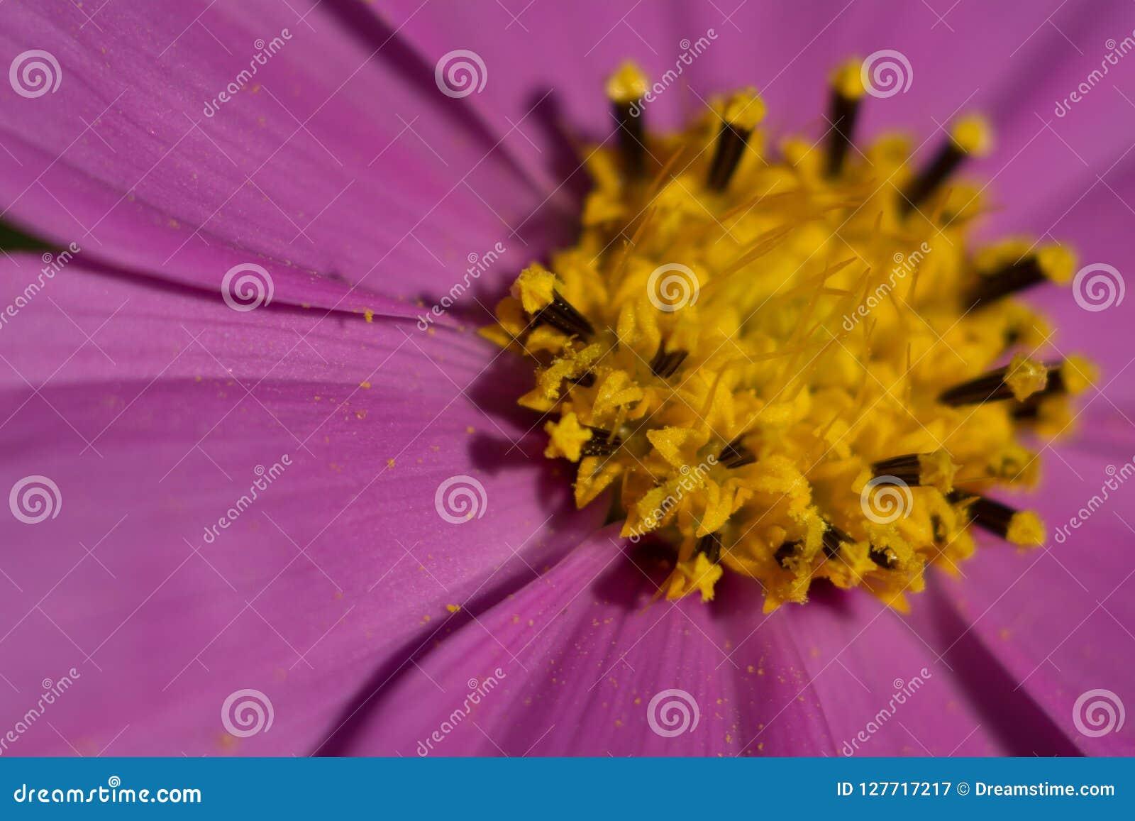 Закройте вверх фиолетового цветка космоса