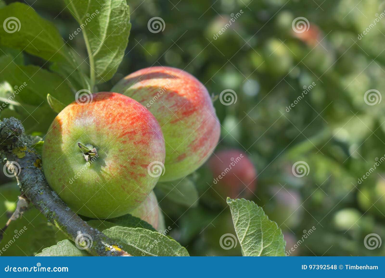 Закройте вверх яблока на дереве с запачканной предпосылкой для полисмена