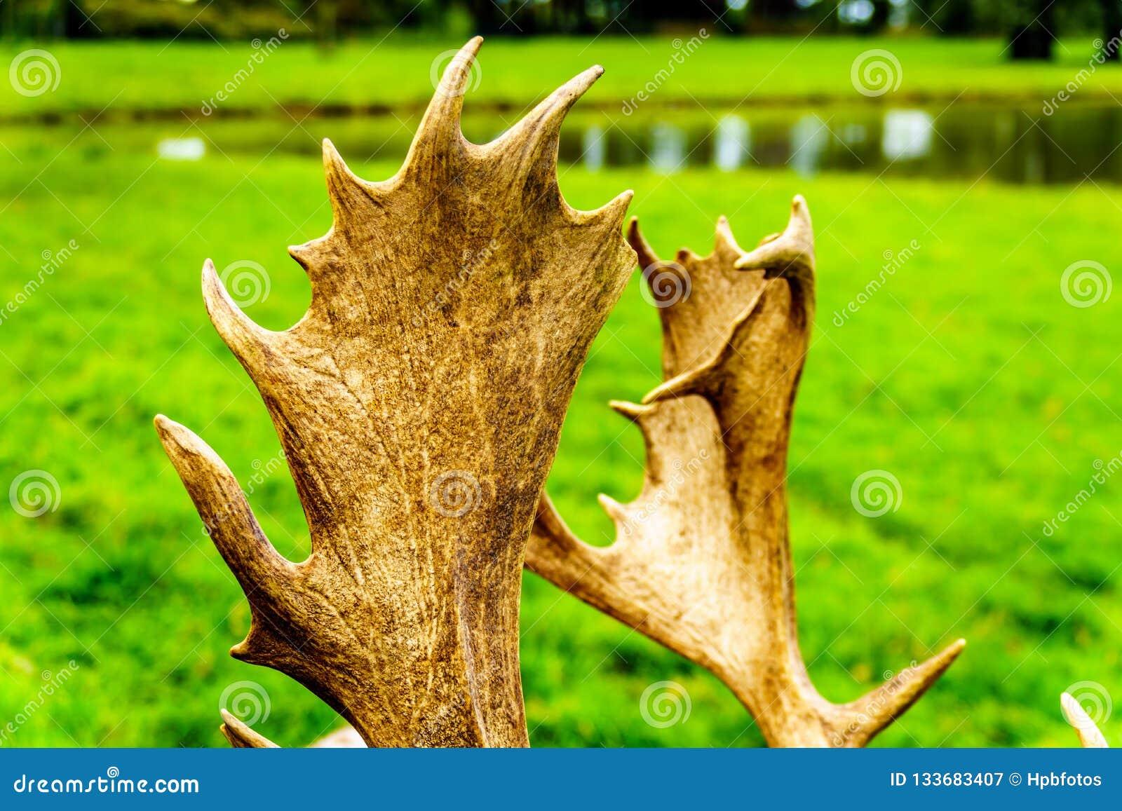 Закройте вверх Antlers лани