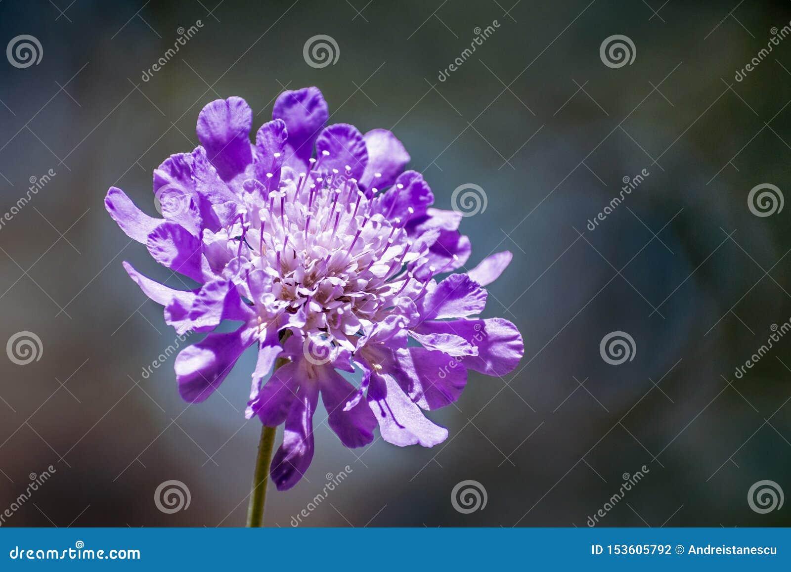 Закройте вверх columbaria Scabiosa цветка Pincushion на темной предпосылке