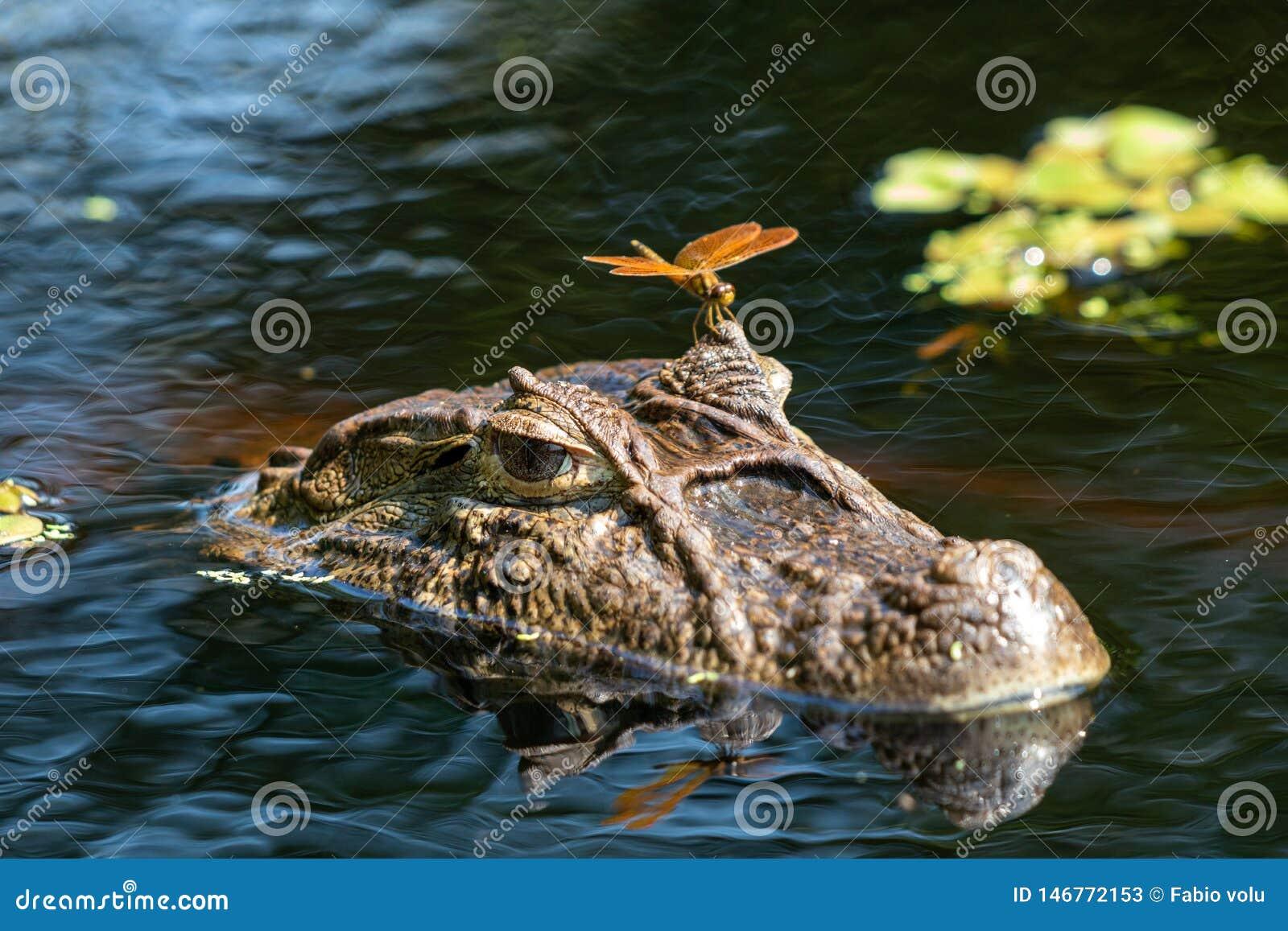 Закройте вверх dragonfly на голове Caiman Yacare latirostris Caiman скалистой вершины ¡ aligÃ, Crocodilus Yacare Jacare Caiman, в