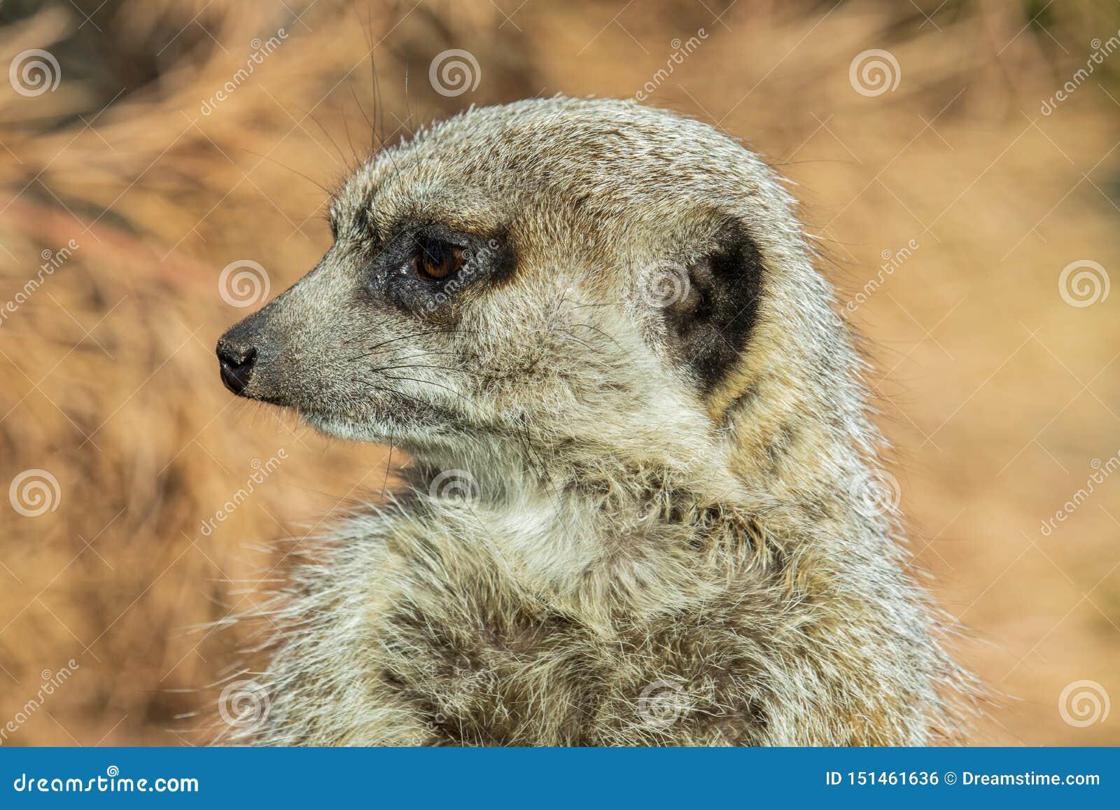 Закройте вверх meerkat