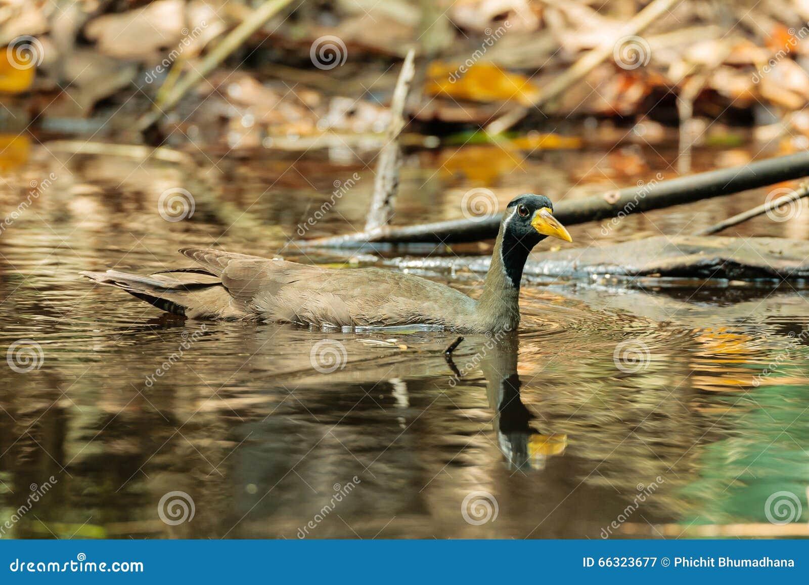 Замаскированная птица Finfoot [personatus Heliopais]
