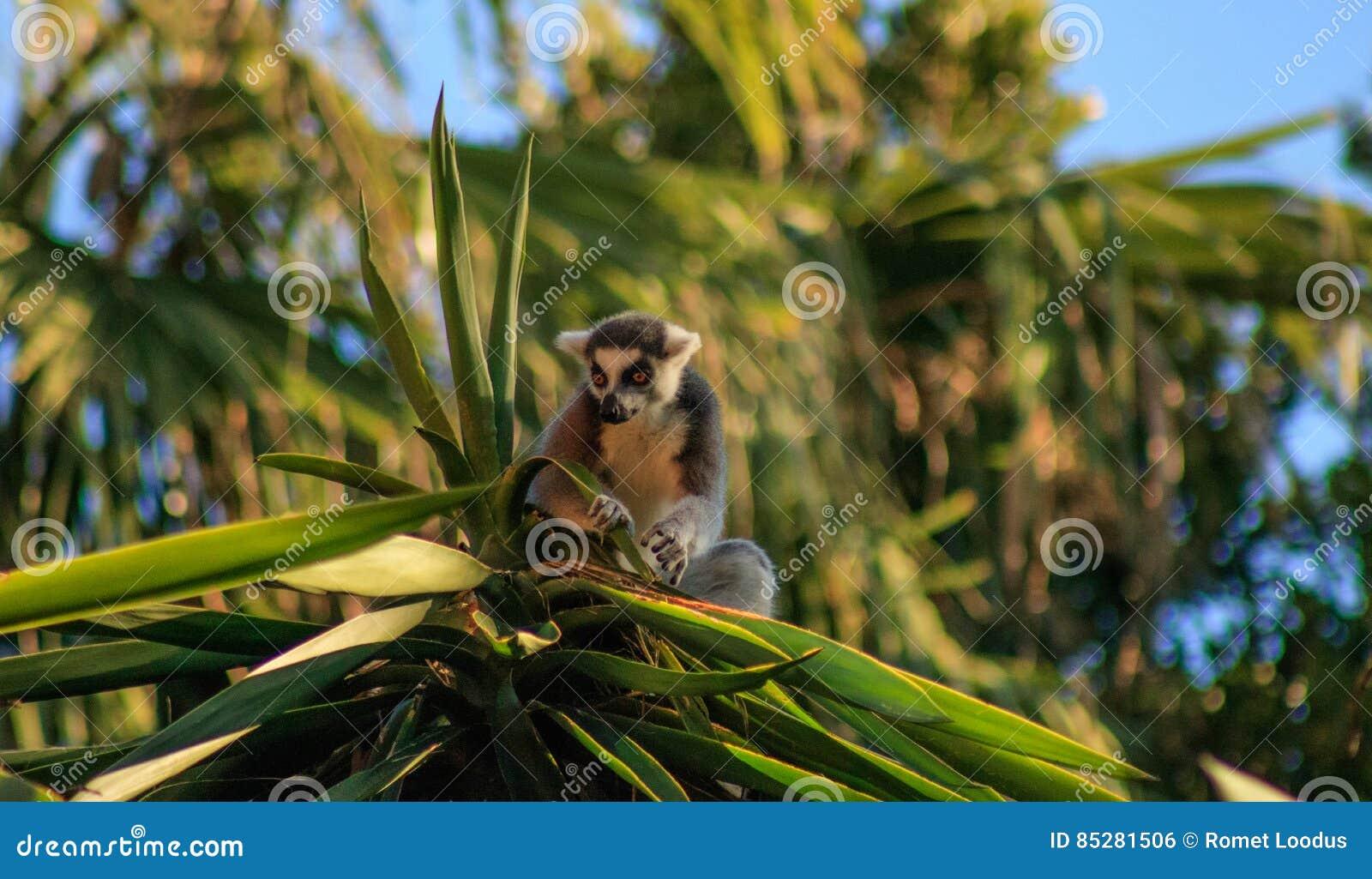 замкнутое кольцо lemur