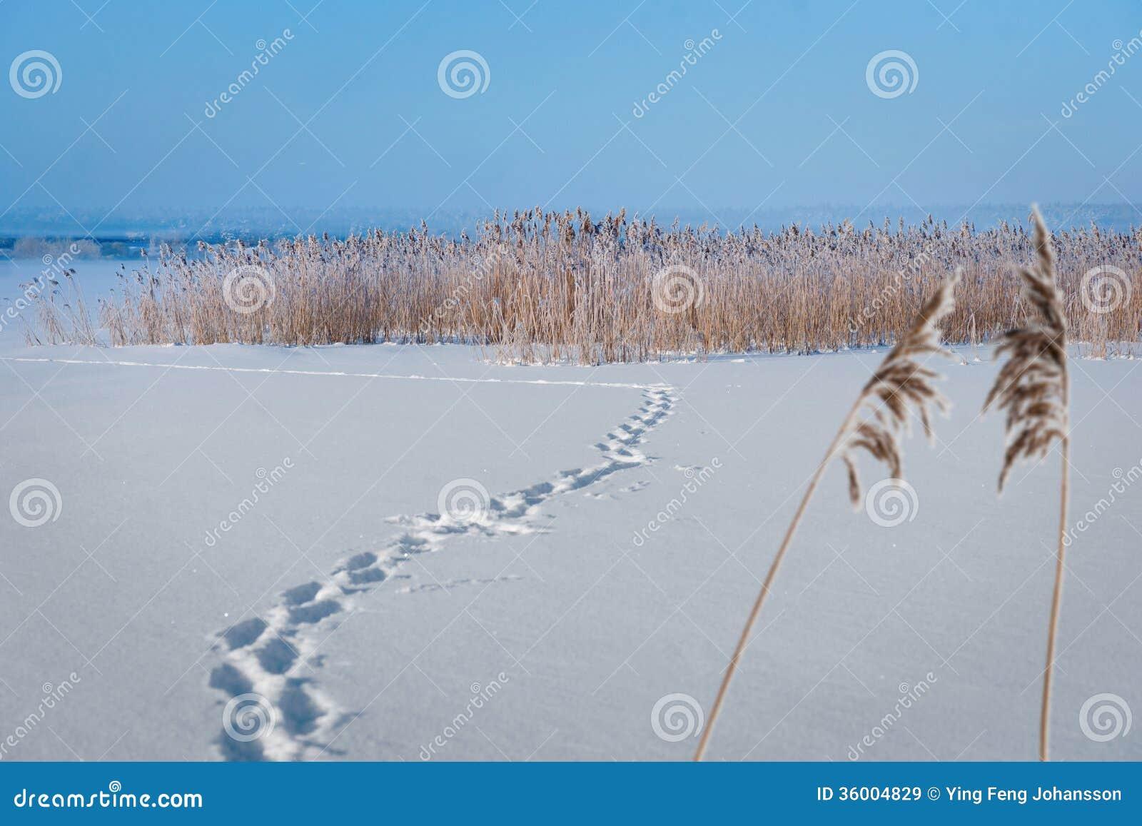 Замороженное озеро с тростниками