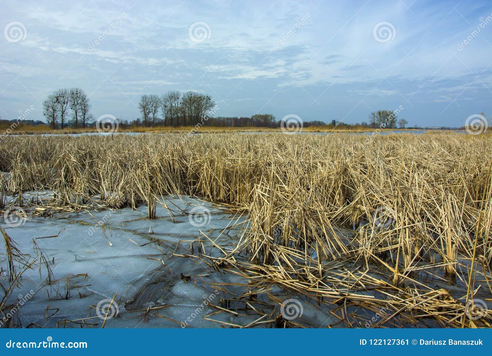 Замороженный взгляд воды и тростников