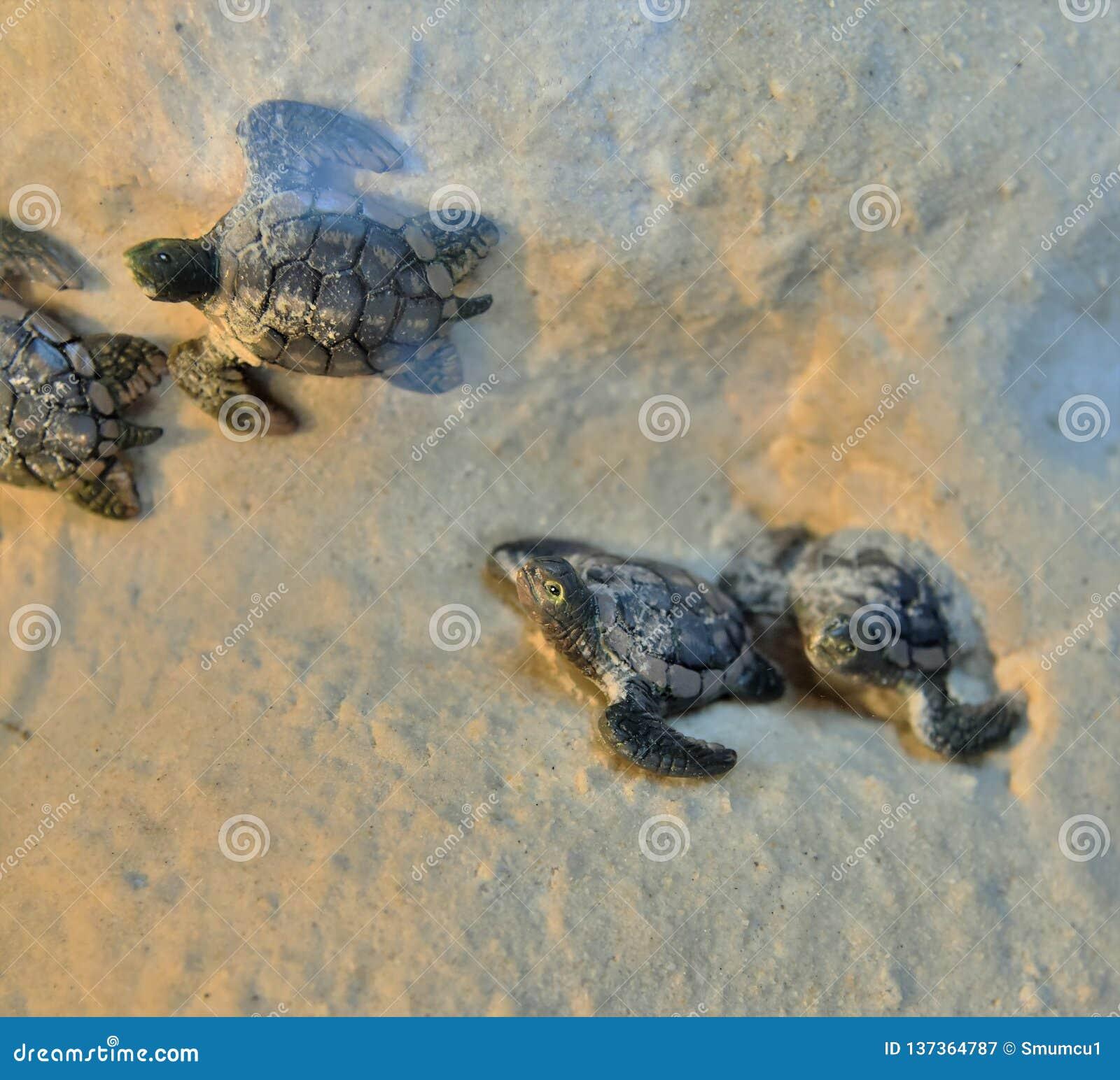 Заново насидел младенца черепахи участвуют в гонке