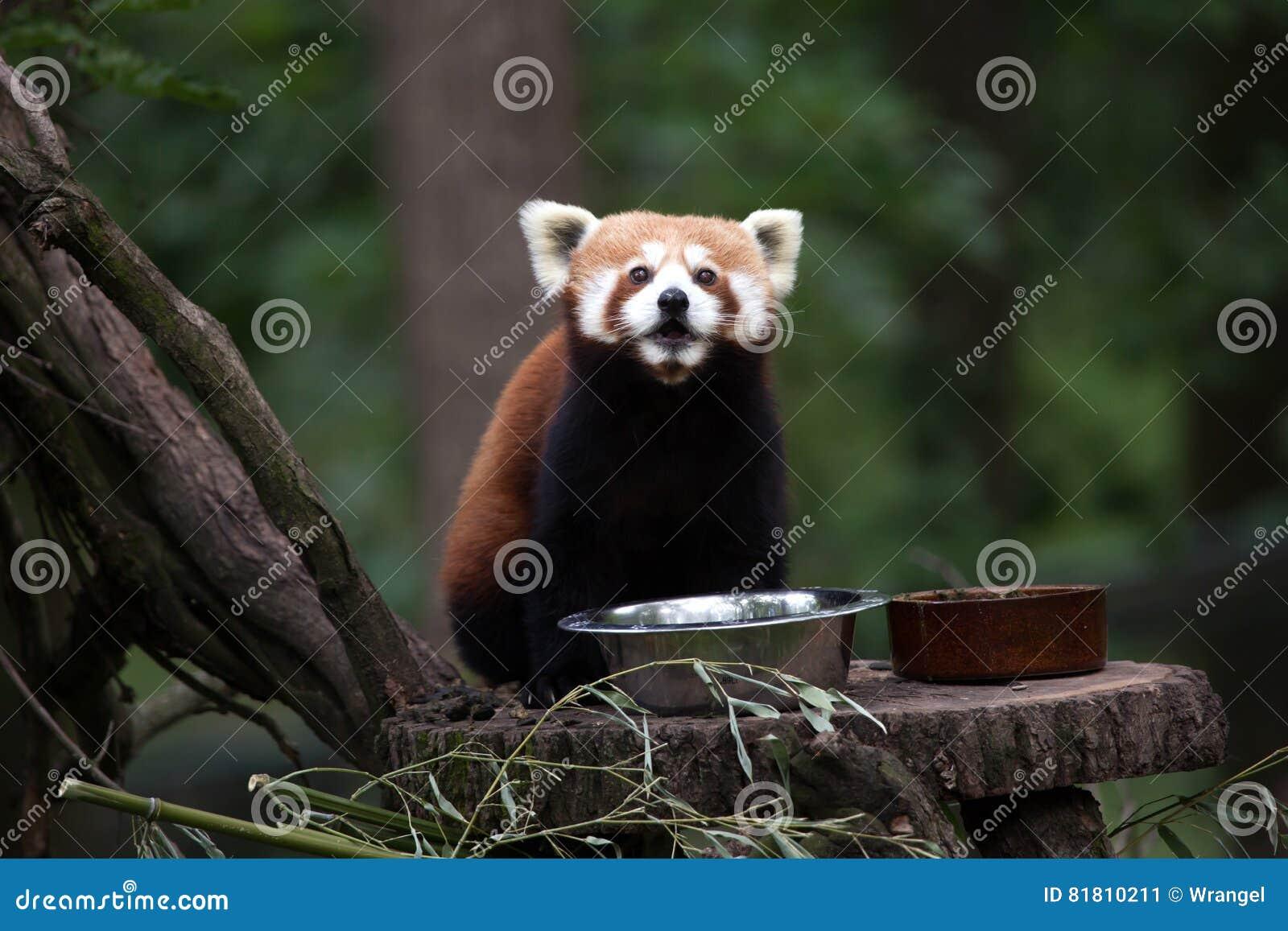 Западные fulgens fulgens Ailurus красной панды