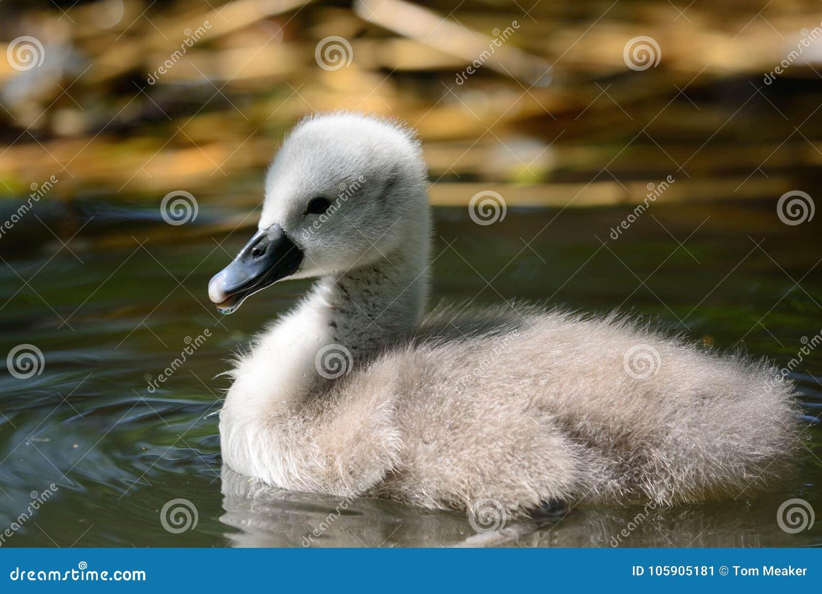 Заплывание молодого лебедя в воде