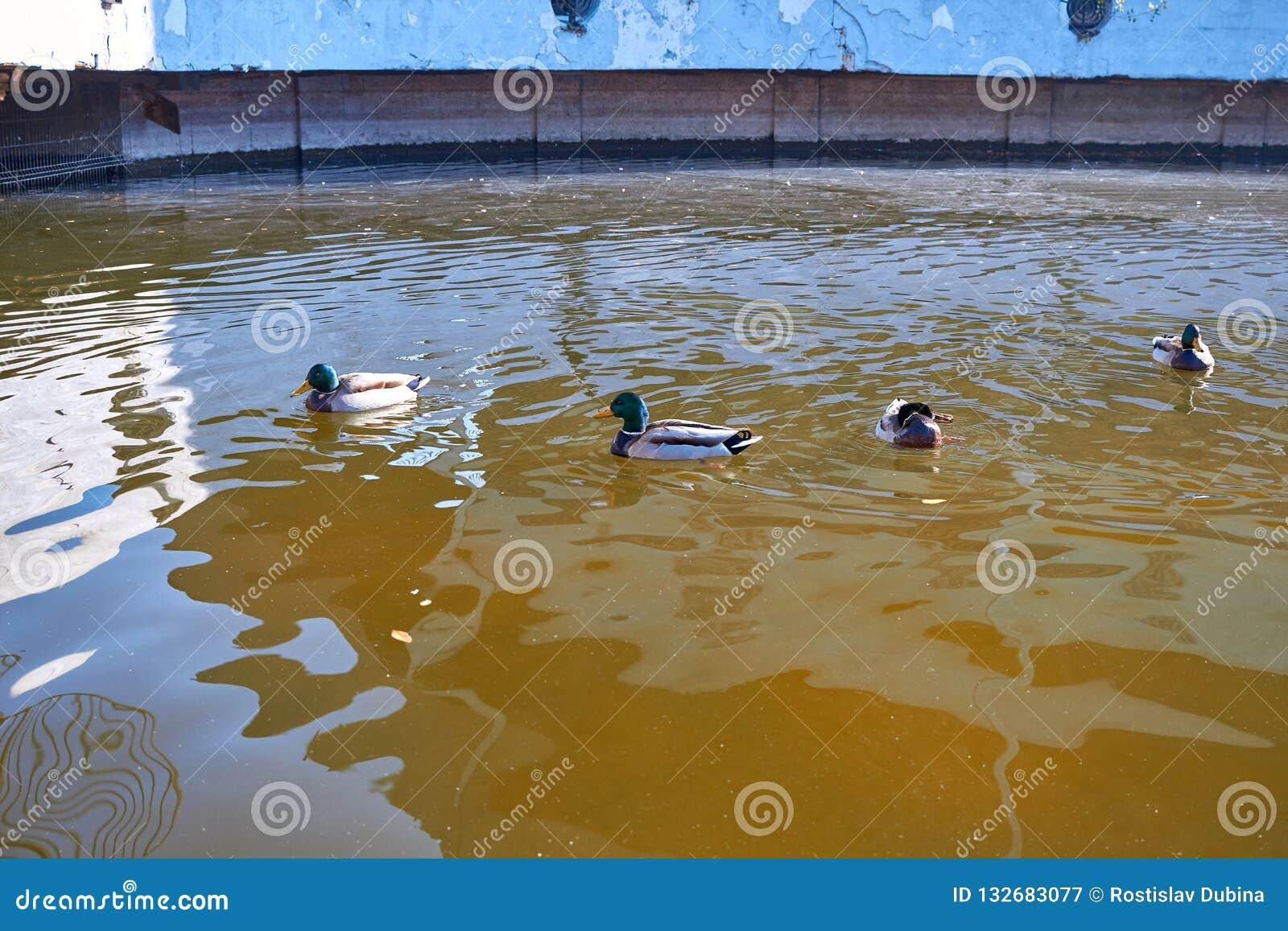 Заплыв уток в воде Drake плавает в озере Много уток плавают в пруде города Птица с яркими пестроткаными пер Утка