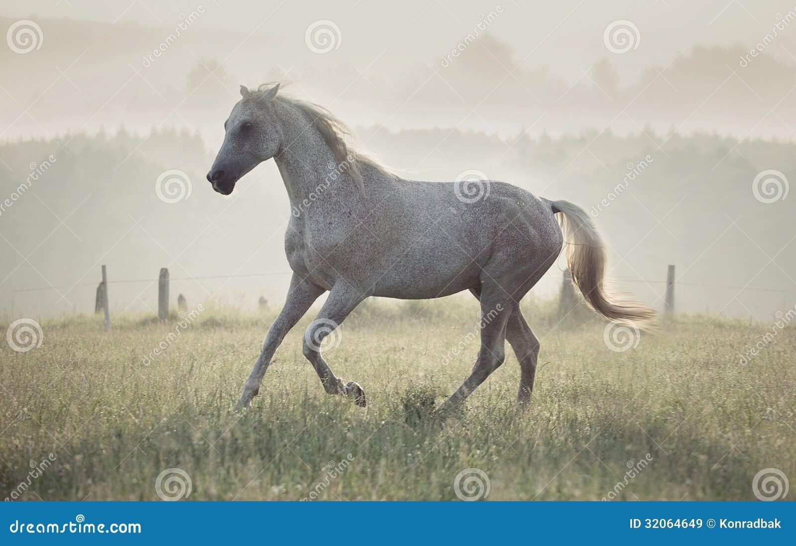 Запятнанная белая лошадь бежать через луг