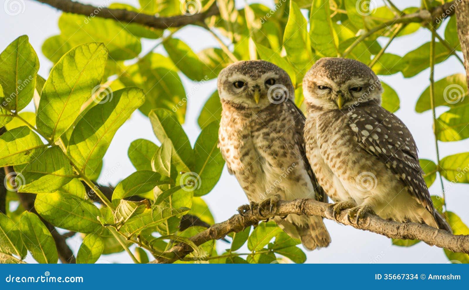 Запятнанный Owlet