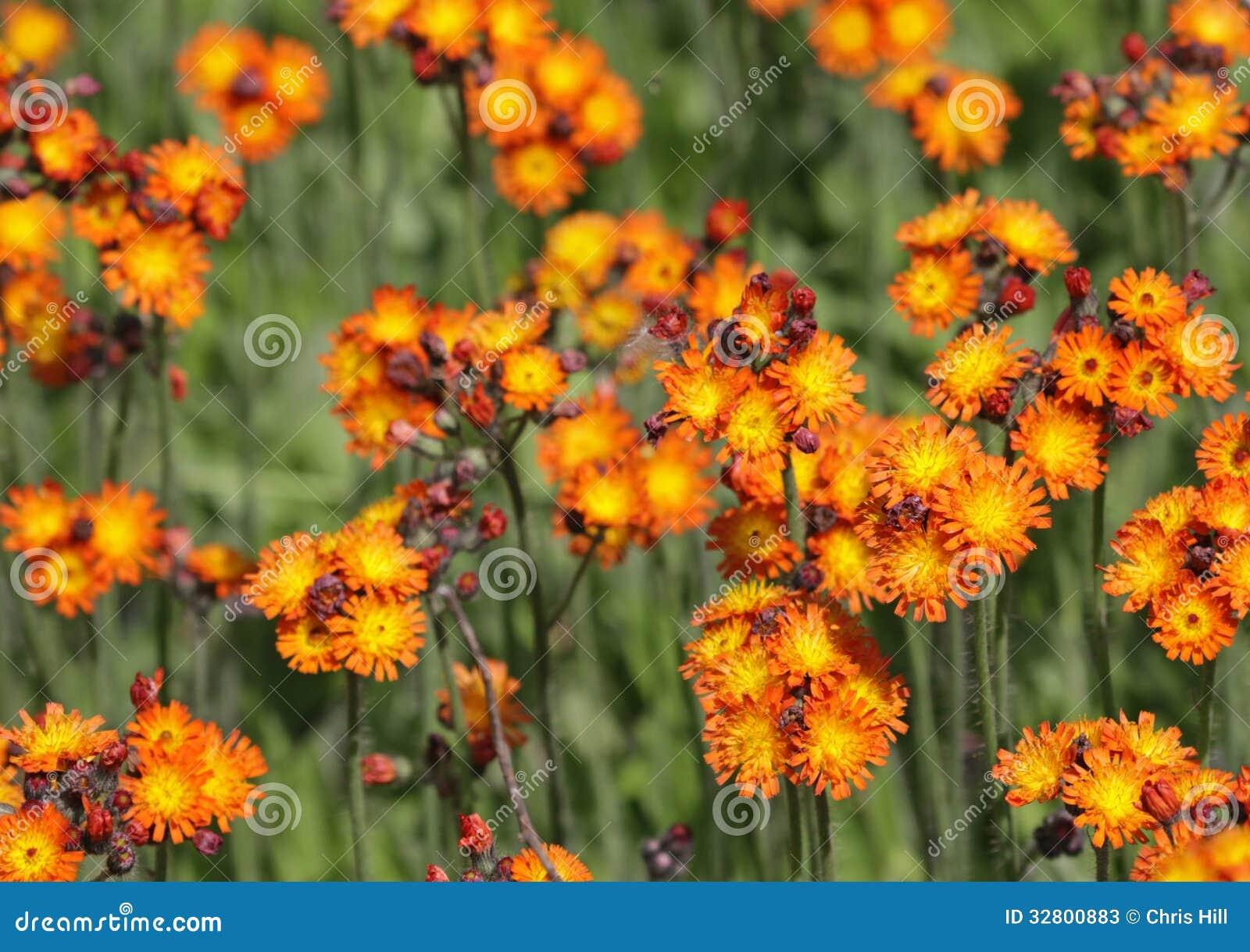 Заплата оранжевого Hawkweed