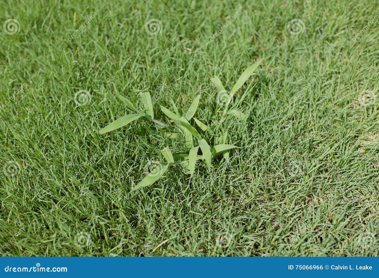 Заплата crabgrass полет в лужайке