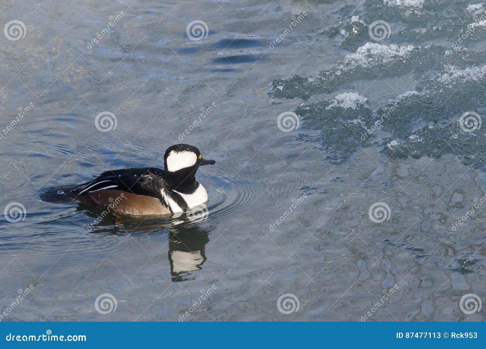Заплывание с капюшоном Merganser в холодном слякотном реке зимы